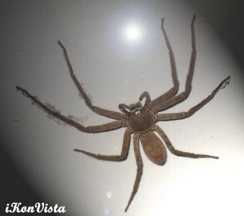Monstrous Giant Spider