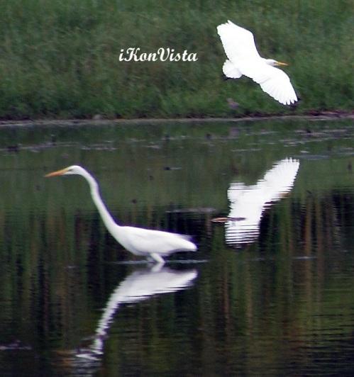 Egrets @ Likas Lagoon