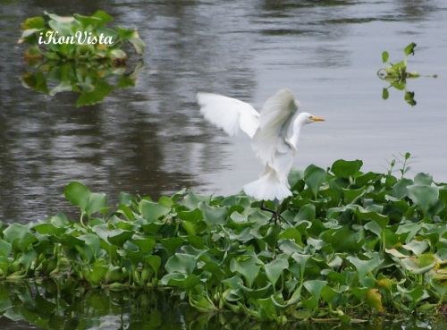 Egret By The Swamp