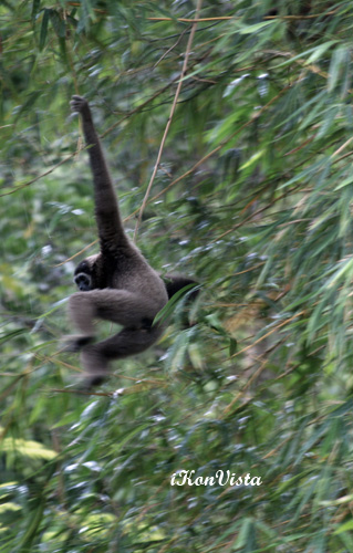 Gibbon On The Swing